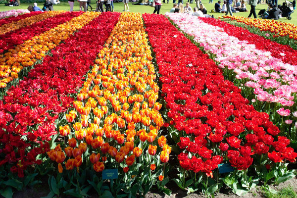 cultivo tulipanes