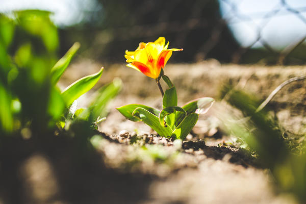 florecimiento tulipan