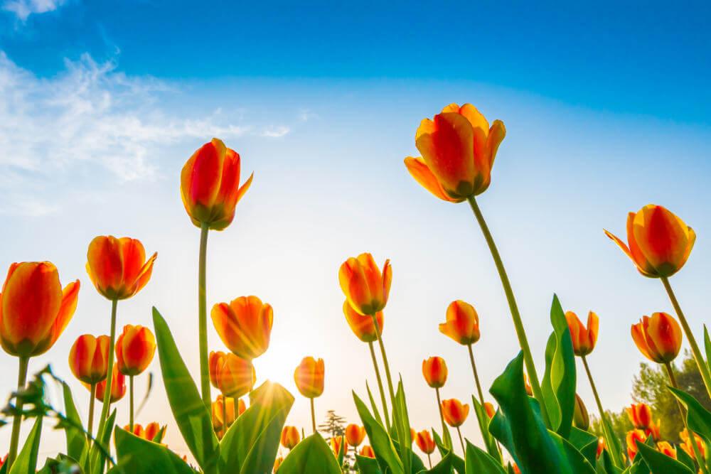 guia-sobre-tulipanes