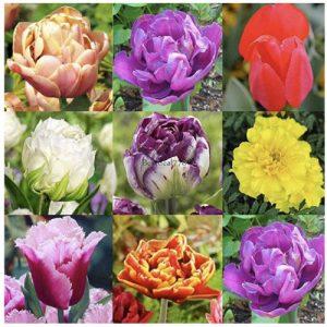 semillas-de-tulipanes
