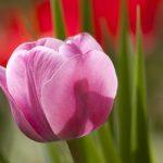 significado color tulipan rosado