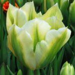 tulipan-spring-green