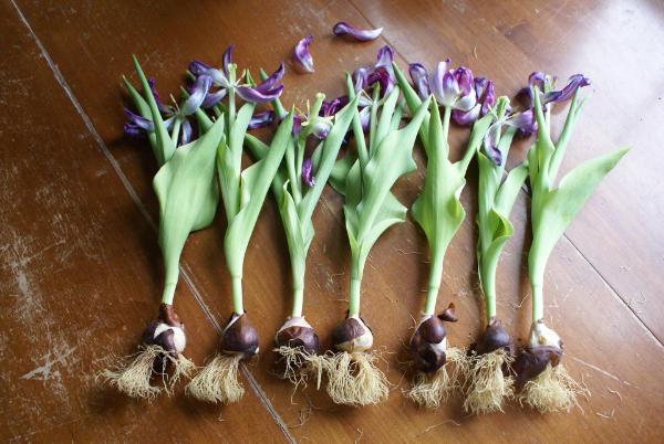 bulbos tulipanes