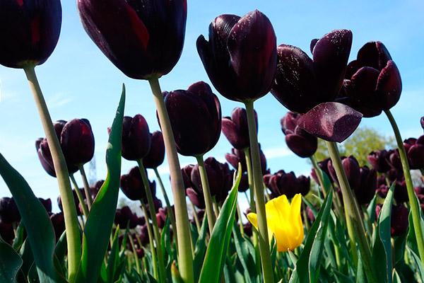 bulbos de tulipanes
