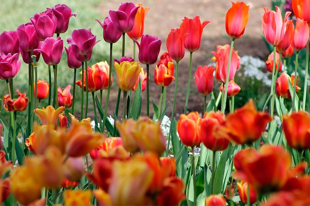 clasificación-de-los-tulipanes