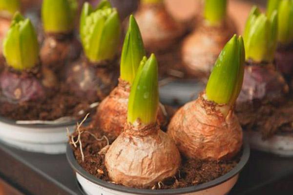como conservar bulbos de tulipanes