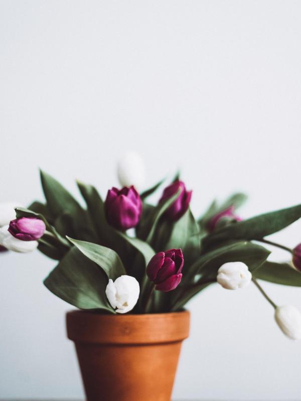 cultivo tulipan maceta