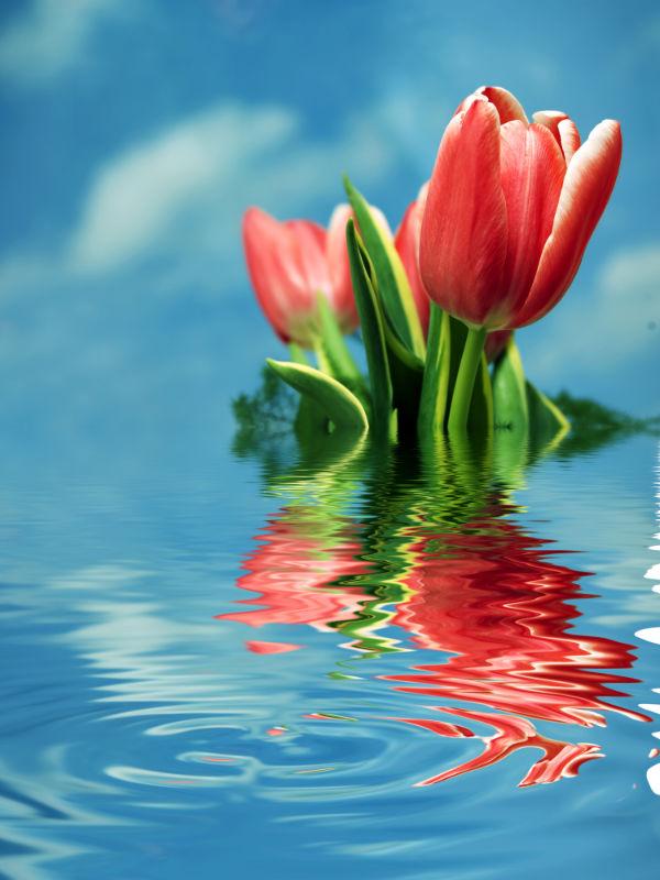 cultivo tulipanes agua