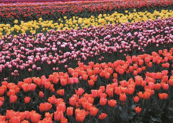 cultivo tulipanes flor cortada
