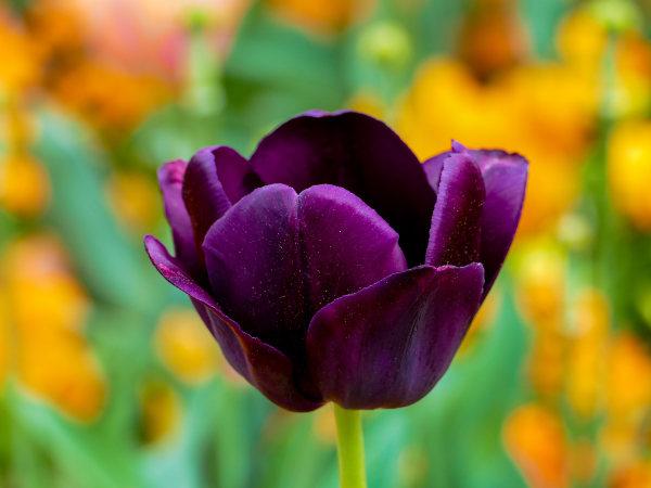 definicion-tulipan