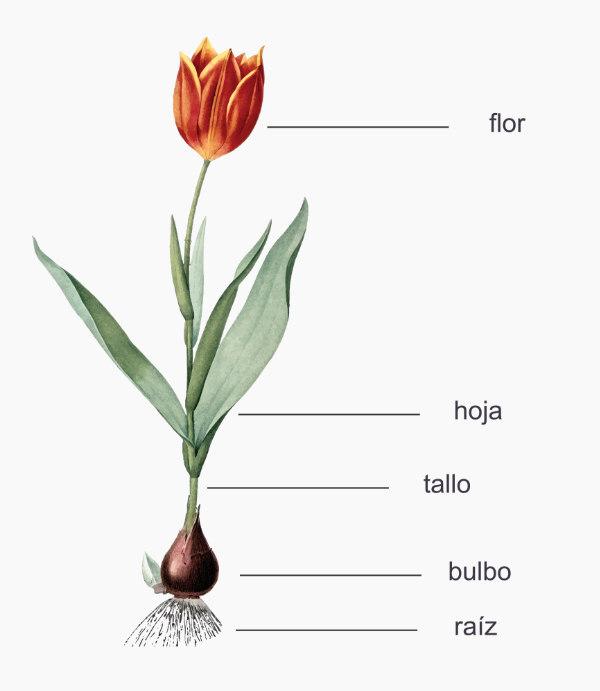 morfoligía del tulipán