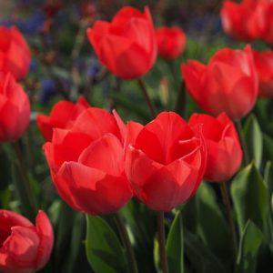 producto-puzzle-tulipanes-rojos-campo