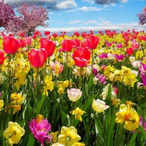 productos-puzzle-campo-tulipanes