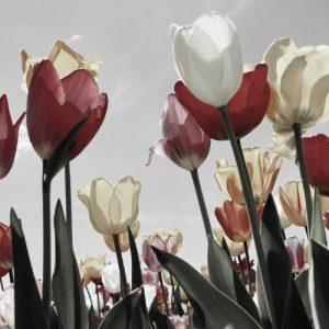 productos-puzzle-tulipanes-rojos-blancos