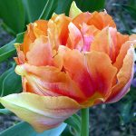 tulipan doble flor