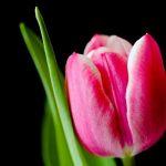 tulipan precoz flor sencilla