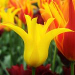tulipan-west-poing