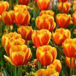tulipanes híbridos Darwin