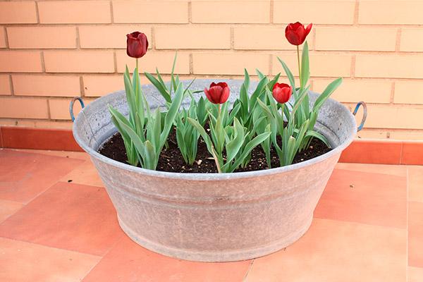 tulipanes en macetas