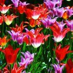 tulipanes triumph