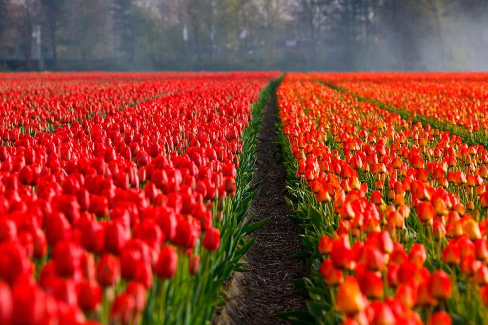 tulipanes.holanda