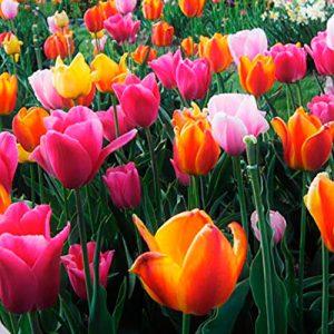 10.bulbos.tulipanes.darwin