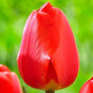 20.semillas.tulipan.darwin.hibridos