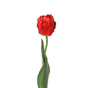 Artificial-Lorina-rojo-tulipan-papagayo