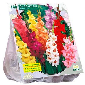 Saco.100.bulbos.tulipanes.darwin