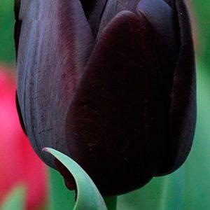 Tulipán-negro-120-semillas