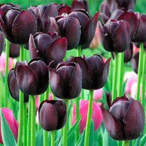 Tulipán-negro-bolsa-semilla