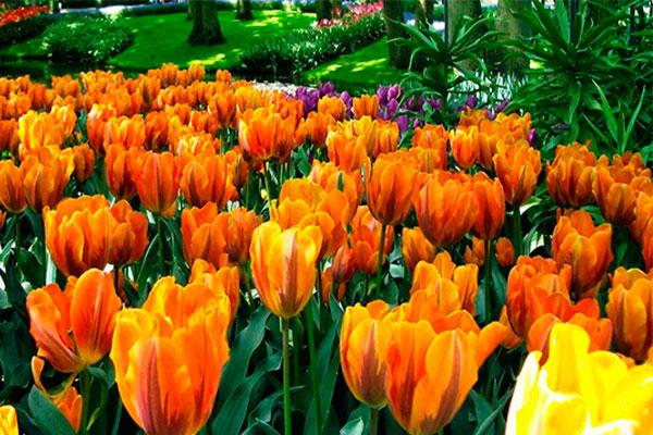 campo.tulipán.ballerina