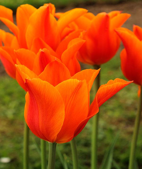 primer.plano.tulipán.ballerina