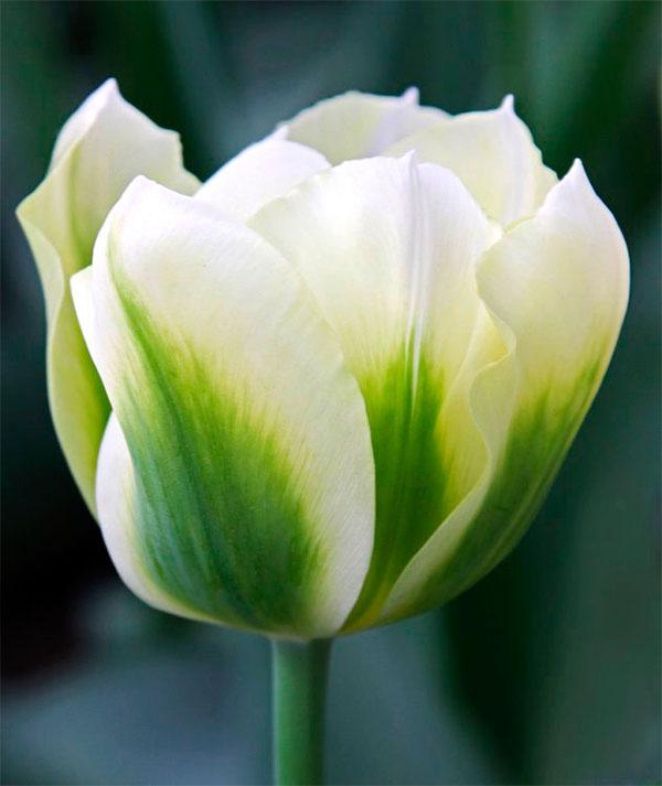 primeros-planos-Tulipán-Spring-Green-