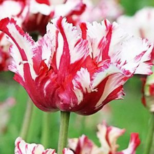 semillas-organicas-tulipan-estella-rijnveld