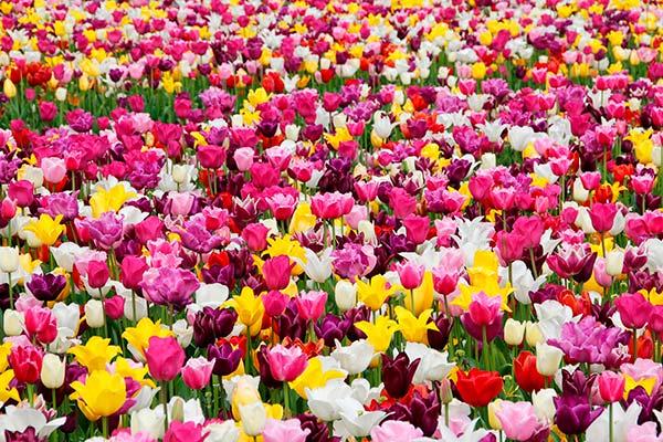campo.tulipanes